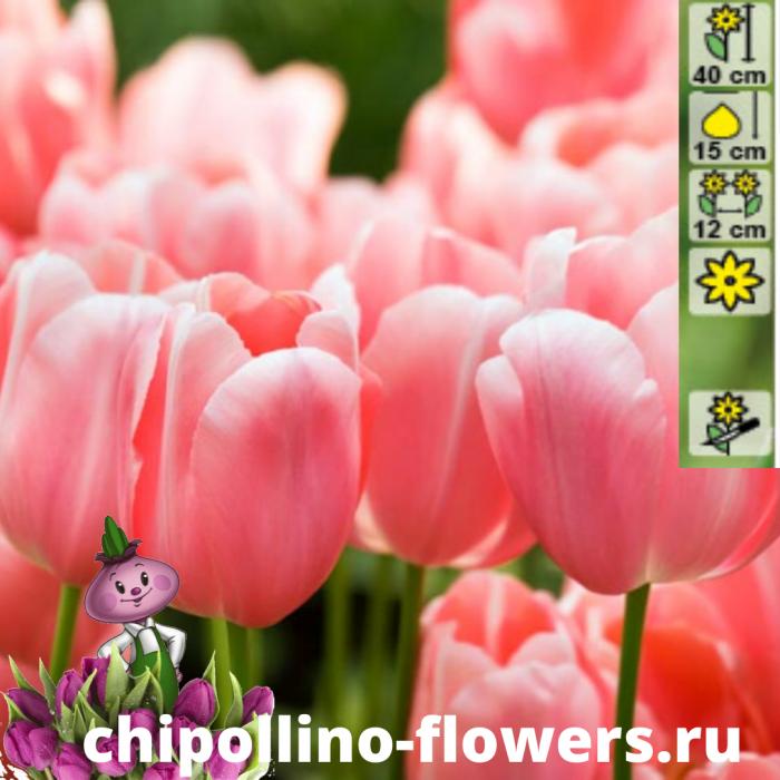 Тюльпан Menton  ( 5 луковиц)