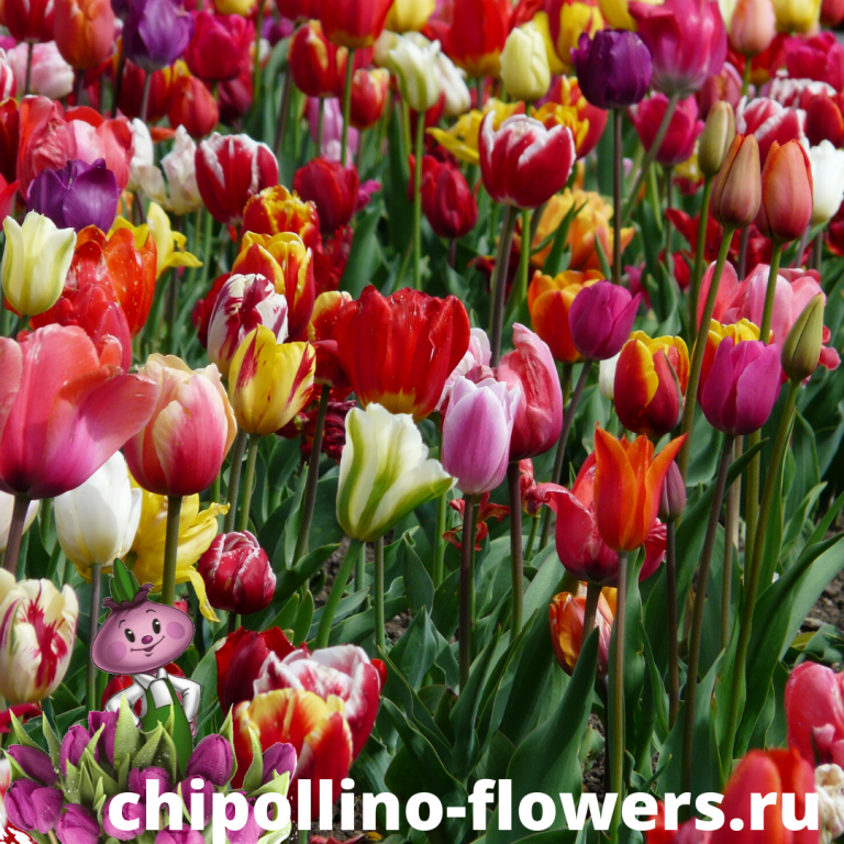Тюльпаны многолетние микс ( 15 луковиц)