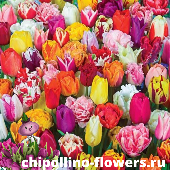 Тюльпаны микс ( 15 луковиц)