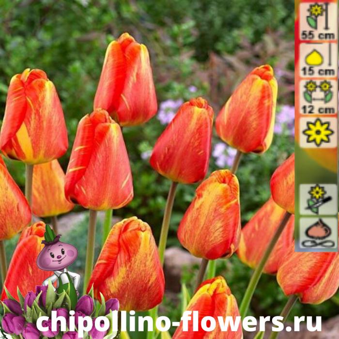 Тюльпан Mystic garant ( 5 луковиц)