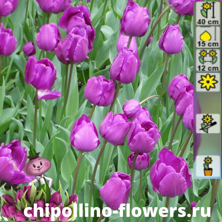 Тюльпан Negrita ( 5 луковиц)