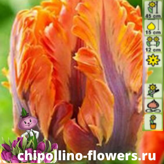 Тюльпан Orange rococo (5 луковиц)