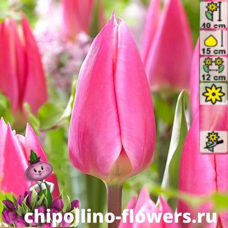 Тюльпан Pink surprise ( 5 луковиц)