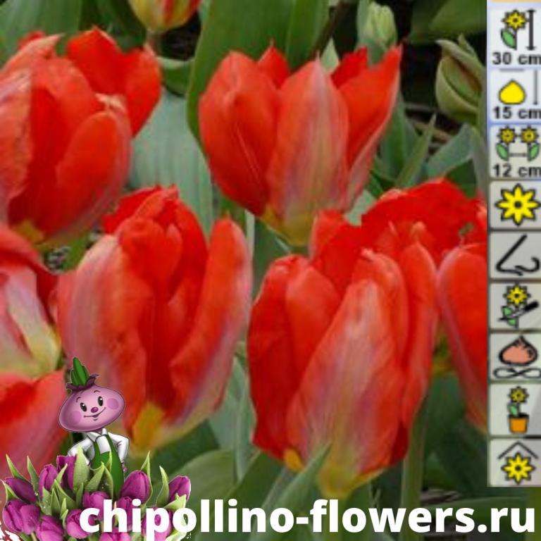 Тюльпан Purissima King (5 луковиц)
