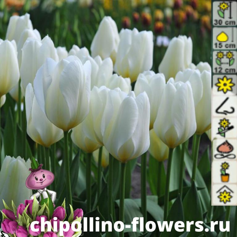 Тюльпан Purissima (5 луковиц)