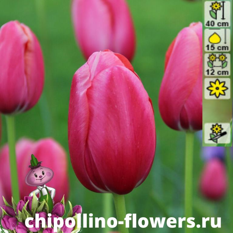 Тюльпан Renown  ( 5 луковиц)