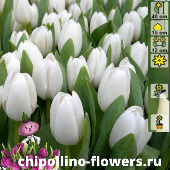 Тюльпан Royal virgin ( 5 луковиц)