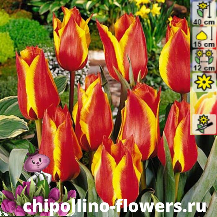 Тюльпан Spring surprise  ( 5 луковиц)