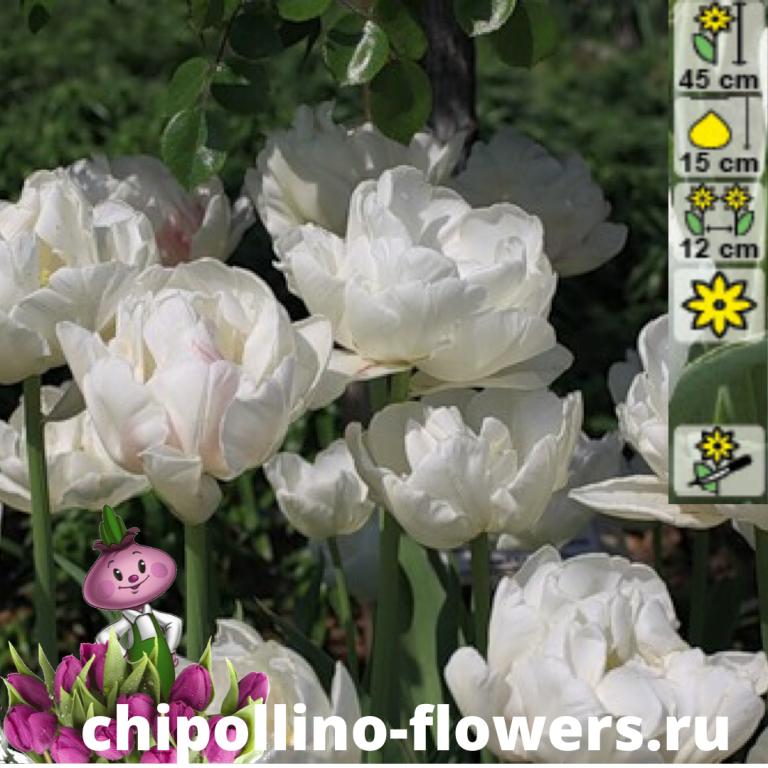 Тюльпан Up white ( 5 луковиц)